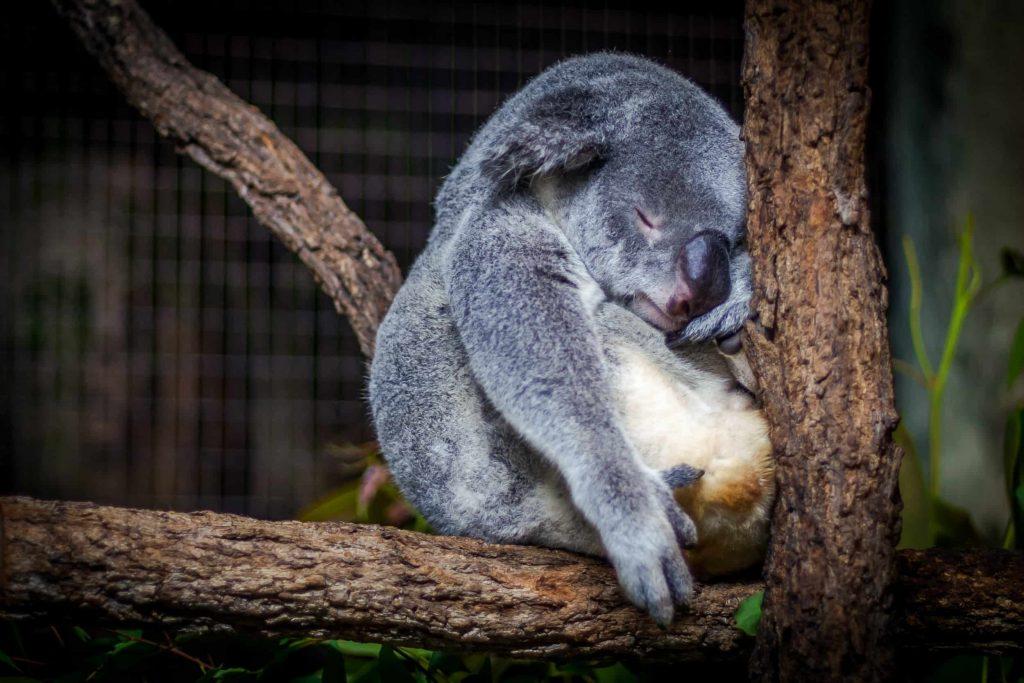 exhausted koala